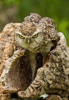Intensity, Owl, Bird of prey. by Jan Knapen Beautiful Owl, Animals Beautiful, Cute Animals, Saw Whet Owl, Nocturnal Birds, Burrowing Owl, Owl Pictures, Wise Owl, Owl Bird