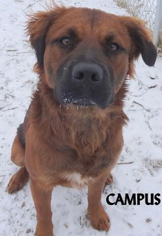 ADOPTED! Tag# 13831 Name is Campus Irish Setter/Rottweiler Mix  Male-not neutered Approx. 1 year old Playful fun boy who loves attention and running around!  Located at 2396 W Genesee Street, Lapeer, Mi. For more information please call 810-667-0236. Adoption hrs M-F 9:30-12:00 & 12:30-4:15, Weds 9:30-12:00 & Sat 9:00-2:00  https://www.facebook.com/267166810020812/photos/a.982182655185887.1073742238.267166810020812/982183031852516/?type=3&theater