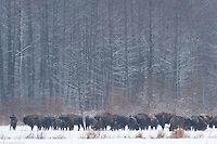 European bison | Wild Wonders of Europe