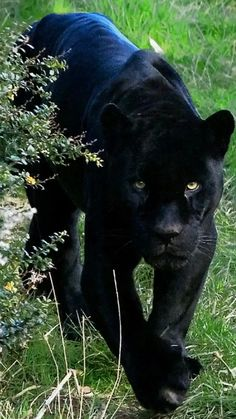 black leopard or jaguar