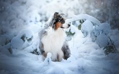 Australian Shepherd Dog, Fluffy Dog, Pets, Forest, Winter, Snow, Aussie, Snowdrifts