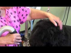 Newfoundland Grooming Part 2 Drying with Penny Shubert