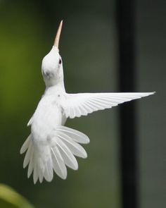 Amazing beauty - an albino ruby-throated hummingbird in Staunton, Virginia ~ photographers Marlin Shank, aged16, Shaphan Shank, 14, Darren Shank, 12 & Allen Shank, 9.  Visit the link to see the rest of their photos.   . . . .   ღTrish W ~ http://www.pinterest.com/trishw/  . . . .  #beauty #hummingbird #photography