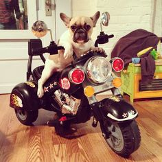 Trixie, the 'Bad Girl' of French Bulldogs.