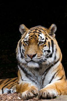 Jantar, amur tiger | Flickr - Photo Sharing!