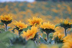 お疲れさま もうすぐ満開 The sunflowers will be in full bloom soon. ひまわり畑 #ひまわり ##sunflower #sunset #sunflowers #Hokkaido #北海道#名寄市 #名寄 #智恵文 #ひまわり畑  #なよろひまわり #向月葵 #星守る犬 # STARPROTECTORDOG #ビタミンカラー#해바라기 #葵花 My birthday ison1th August!  黒いのがチョロチョロとわんこちょとでかかったようなか 今月もよろしくお願い致します