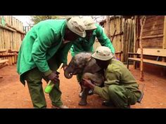 NDOTTO - David Sheldrick Wildlife Trust - The calf's umbilical cord was still fresh, his ears still pink and his weak legs still learning how to walk, yet without his mother to guide him he merely followed what he thought was his family, too young to know any different.