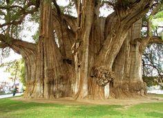 A árvore é chamada às vezes também Ciprés de los Panatanos (Cypress dos pântanos).