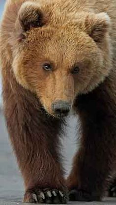 Gorgeous Brown Grizzly Bear