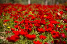 Bright flowers blanket the northern part of the Negev desert, and it's cause for celebration.