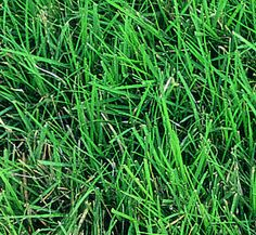 Buffalo grass. Soft, will take over other grasses... And only grows to 12 inches high ... And lays over before that