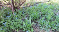 Kevätkaihonkukka - Omphalodes verna - blue-eyed-Mary