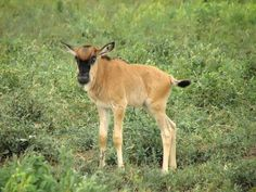Baby Wildebeest  My nickname for my daughter Taylor has been Baby Wildebeest since forever!
