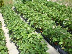 Une plantation de fraisiers dans des goutti re hors sol avec arrosage planter des fraisiers - Distance plantation arbre maison ...