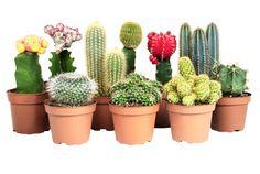 kaktus-cesitleri
