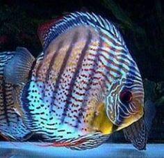 Discus Fish by moneyrat