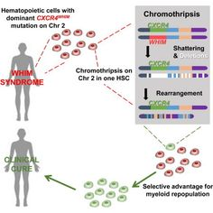 Shattered chromosome (chromothripsis) cures woman of immune disease