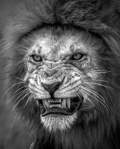 Lion Teeth Hd Wallpapers Angry Lion High Quality Printing Lion