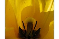 Black bottom of a yellow tulip heart