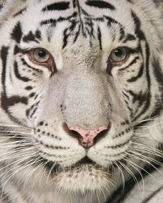 White Tiger by huffmelanie on Flickr
