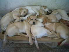 Mind Blowing Facts About Labrador Retrievers And Ideas. Amazing Facts About Labrador Retrievers And Ideas. Lab Puppies, Cute Puppies, Cute Dogs, Labrador Retrievers, Retriever Dog, Golden Retrievers, Raza Labrador, Labrador Yellow, Animals And Pets