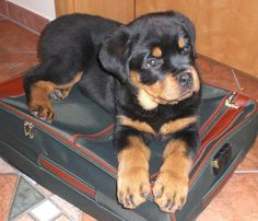 Some of the things we enjoy about the Confident Rottweiler Puppies Rottweiler Funny, Rottweiler Training, Rottweiler Puppies, Cute Puppies, Cute Dogs, Dogs And Puppies, Doggies, German Dog Breeds, Animals