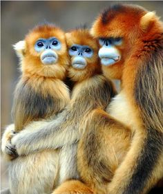 Daily Awww: The animal kingdom rules photos) - me, these are the scariest monkeys I have ever seen! Primates, Mammals, Nature Animals, Animals And Pets, Wild Animals, Monkeys Animals, Wise Monkeys, Small Animals, Unique Animals