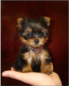 tea cup yorkie ... my dream dog <3 <3