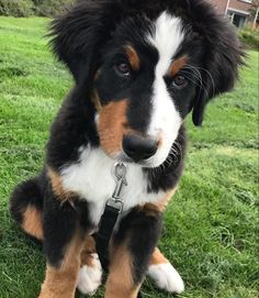 A rather judgmental looking Bernese Mountain puppy ;)