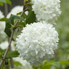 Viburnum Opulus Roseum (Snowball Bush) - Shrubs All - Shrubs by Name - Shrubs