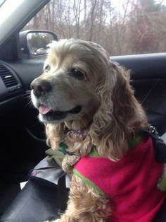 Cocker Spaniel: Reminds me of when my Wags dog rode beside me.