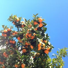 10 Tips for Successfully Growing Citrus Trees in ANY Climate