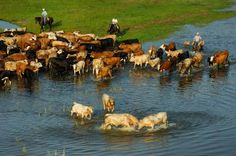 Limousine bulls spar in the shallows of Lake Kissimmee during a round-up at the Lightsey Ranch in Polk County.