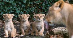 Três filhotes de leão asiático, com dois meses de vida, ao lado da mãe no Parque Planckendael em Mechelen, na Bélgica