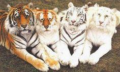 Tigres de uma mesma família!!!