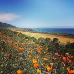 California poppies along Highway 1. I'm taking my sweet time down this lovely road when I return. #discoveramerica #roadsidebeauty #usaroadtrip #roadtripusa #americathebeautiful by philippeckson