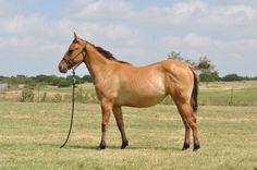 Lot 31 - WWR Dun Hancock Ike The Wagon Wheel Ranch Ranch Horse Production Sale Sept. 12, 2015 Lometa, Texas (512) 734-0234 www.WagonWheelRanch.com