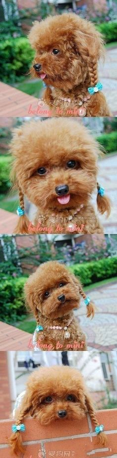 Poodle Piggies! Grow out hair on ears long and braid. Just like a little fuzzy person.  I have to try this !!