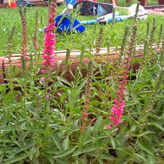 Pink Veronica (speedwell) - out front