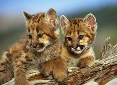 mountain lions | Mountain Lion litters number 1 - 4 cubs, weighing an average of 18 oz ...