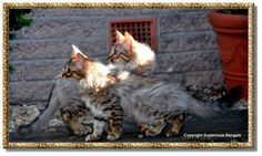 Two Cashmere Bengals (expressing the recessive long-haired gene) from Supernova Bengals