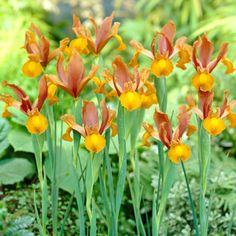 POLIANTHUS TUBEROSA SUPOSIDLY The Worlds Most Scented Bulb DEOCRATIVE Flowering Bulb in 9CM Pot