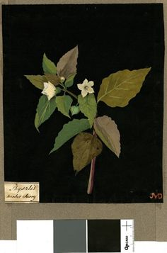 Physalis Alkekengi (Pentandria Monogynia), from an album (Vol.VII, 71); Winter Cherry (flower). 1772-82 Collage of coloured papers, with bod...
