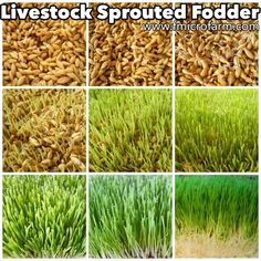Sprouted Fodder for Livestock :: a complete review