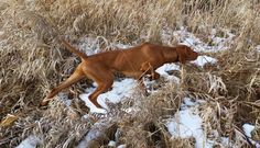 NAVHDA - Working to Foster, Promote, and Improve the Versatile Hunting Dog Breeds in North America