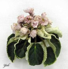 African violet 'Jan- Bokal / Yan- Bokal / Wineglass / Goblet' Double, pale pink flowers, buds are belled (but flowers do open more.) Variegated, green and white, spooned. Shade Garden, Garden Plants, Indoor Plants, Saintpaulia, Sweet Violets, Wild Ones, Flowering Trees, Begonia, Growing Plants