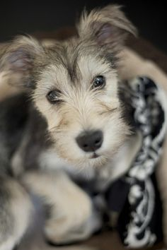 One of the cutest puppies I've seen in a long time.  #dogs #pets