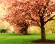 Cherry Blossom Trees lined up in pink bloom during the spring season, in PA. by Angie McKenzie