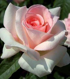 ~Hybrid Tea Rose 'Prince Jardinier' or 'Schloss Ippenburg'