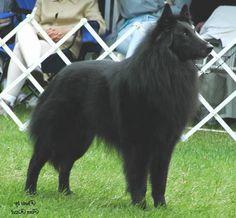Belgian Sheepdog, Groenendael (solid black, long-haired variety)